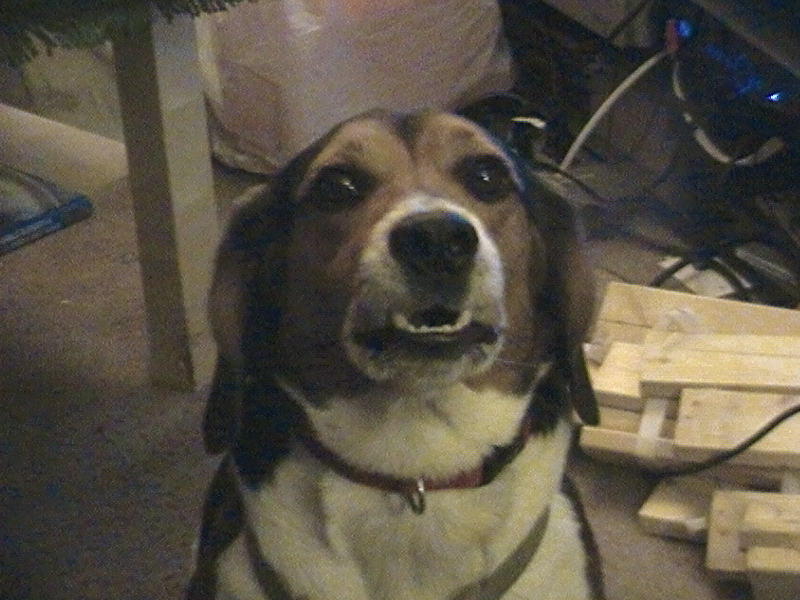 Here is My Dog, Alfie the Beagle trying to smile.